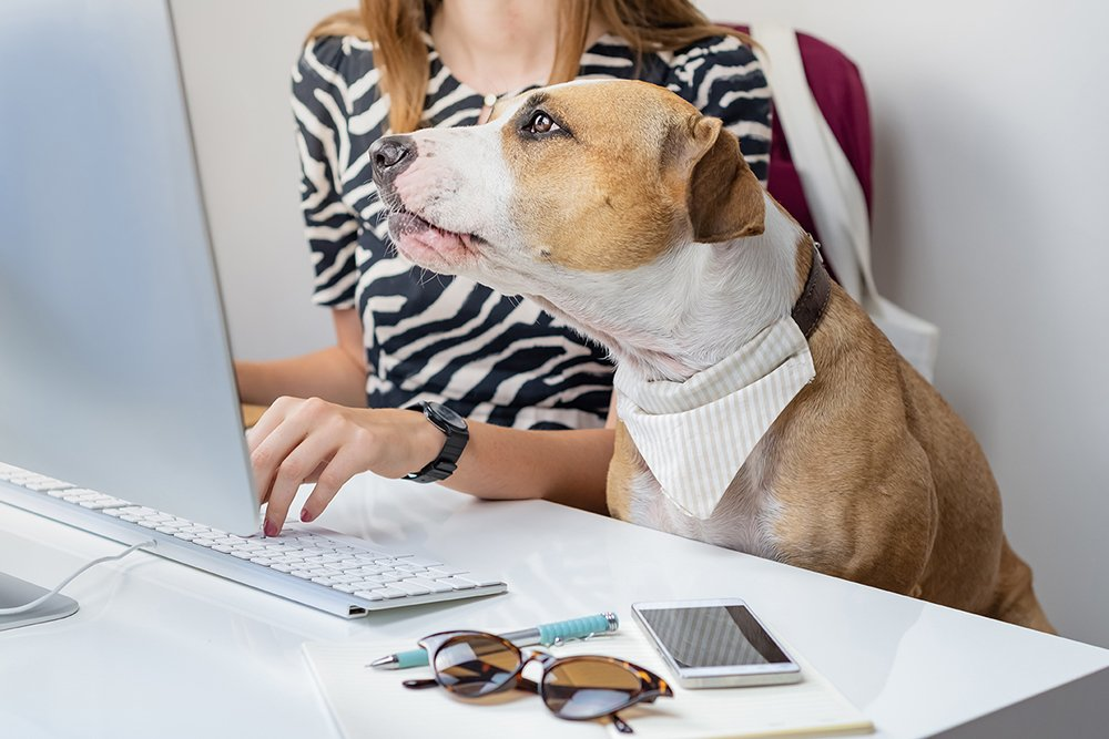 Going to work with pets concept: cute dog with female owner in front of a desktop computer in office. Staffordshire terrier sits in office chair at a modern working place. tropical-dog-training-virtual-training